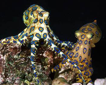 An aggressive female blue ring octopus.