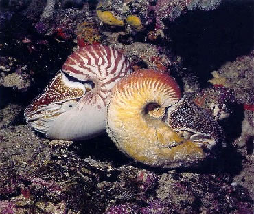 Natural Chambered Nautilus