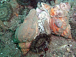 Mollusks asexual reproduction pictures