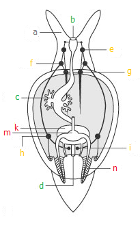 Snails and slugs gastropoda among snails a head tentacle b d digestive tract b mouth opening c main digestive gland d anus e i nervous system e cerebral ganglion ccuart Image collections