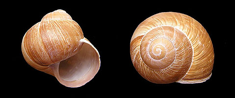The Coiled Snail Shell Snail Shell
